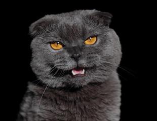 злой британский кот с открытой пастью изолят