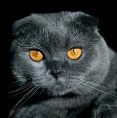 британский вислоухий кот голова изолят