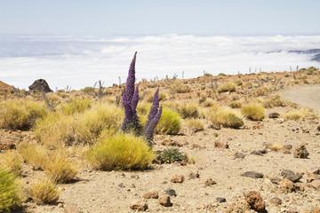 Tenerife landscape with flower Echium wildpretii