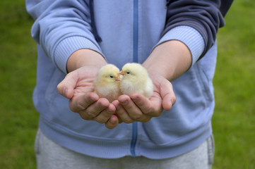 two small chickens held  in human hands