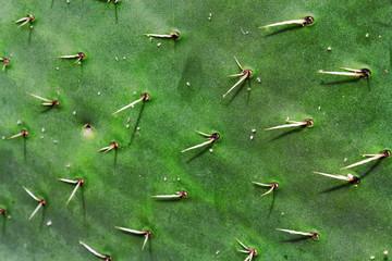 Kaktusstachel
