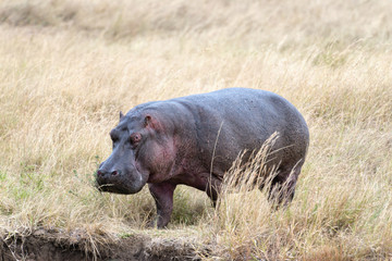 hippopotamus appoach the brae of river