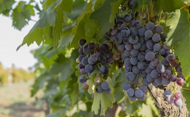 Plantation of grapes in Masalli(Azerbaijan)