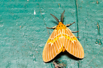 Orange moth on wall