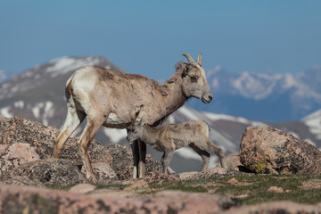 Bighorn Sheep Ewe with Lamb