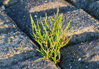 Salicorna growing between stones of a dike