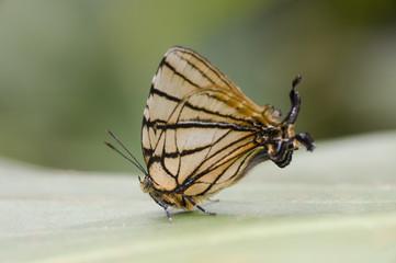Borboleta Arawacus meliboeus