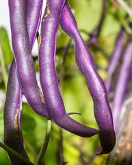 Purple beans, draconic tongues