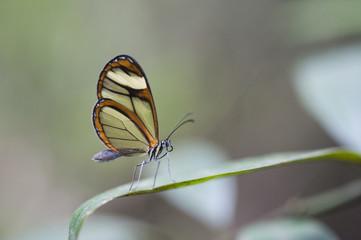 Borboleta Mcclungia cymo salonina