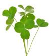 Oxalis acetosella (wood sorrel) plant