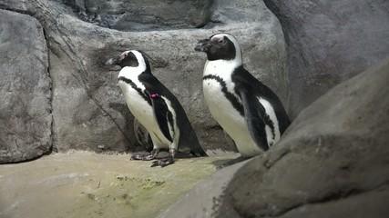 Penguins, Flightless Birds, Animals