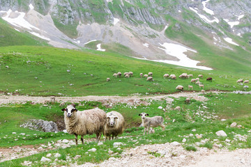 Sheeps in mountains