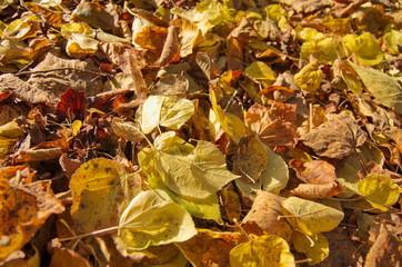 Herbstlaub - Goldener Herbst
