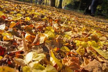 Herbstlaub auf der Promenade in Münster