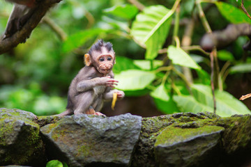 Little baby-monkey in sacred monkey forest of Ubud