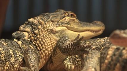 Crocodiles, Alligators, Reptiles, Wild Animals