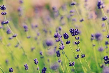 Herbal Garden - flowering lavender in the garden