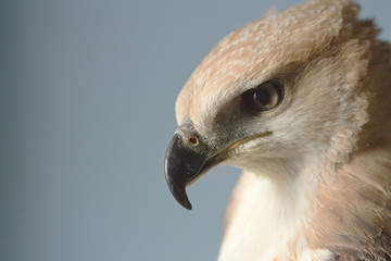 Closeup hawk upper body and head shot