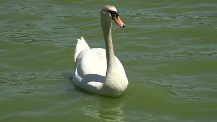 Swans, Birds, Animals, Wildlife