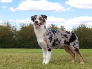 Purebred Dog Australian Shepherd