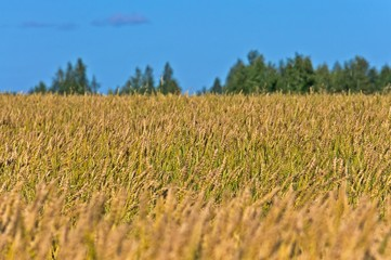 a wheat field under the blue sky