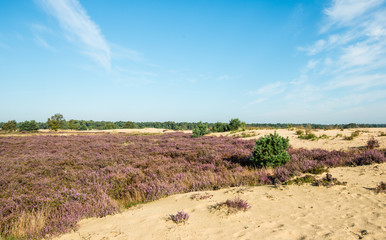 Sandy nature area with purple flowering heather