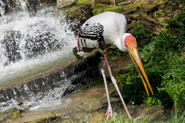 Painted stork catch the fish in the water stream