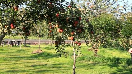 Mann pflückt Äpfel im Garten