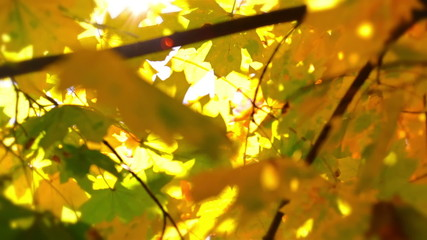 Defocused Autumn Leaves and Sun