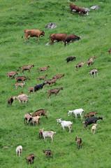 Vaches et chèvres dans un alpage