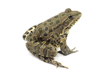 striped marsh frog with brown spots on a white background