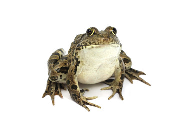 marsh frog with brown spots on a white background