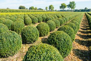 Bulbous boxwood bushes