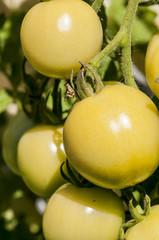 Grüne Tomaten an der Staude