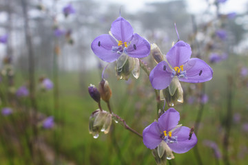 Murdannia giganteum, Thai purple flower and Pine forest