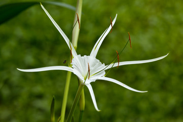 stervormige witte tropische bloem