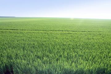 Rice fields,Albufera nature reserve,Valencia,Spain