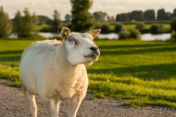 Portrait of staring sheep