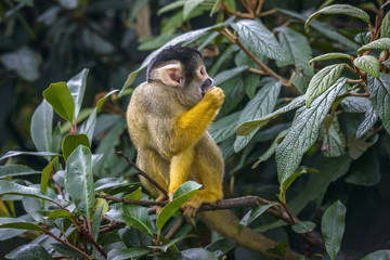 Cute Squirrel monkey (Saimiri)