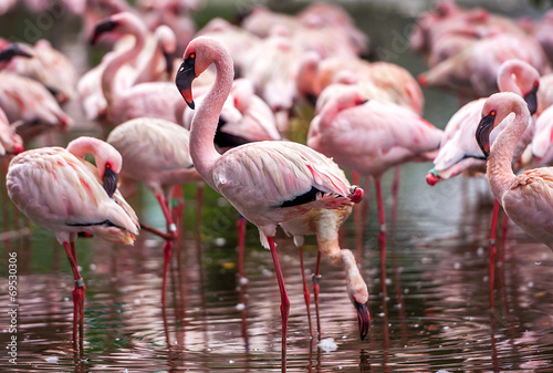 Tuinposter Flamingo A flock of pink flamingos and reflection in the water.