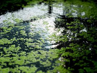 Algen auf Wasseroberfläche