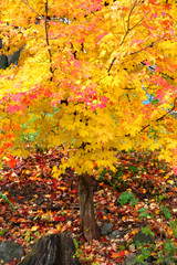 Bright color autumn tree