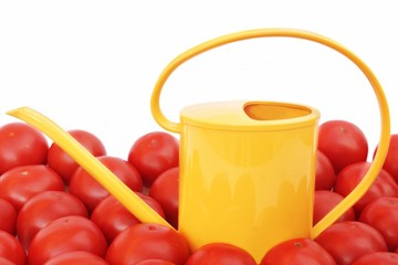 Many tomatoes and watering can