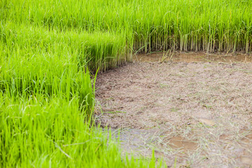 green rice paddy field with mud