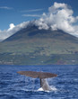 Fin of a sperm whale in front of volcano Pico, Azores islands - 69536148