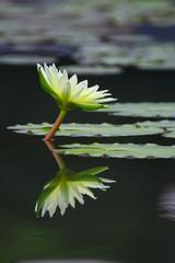 Lotus with reflex