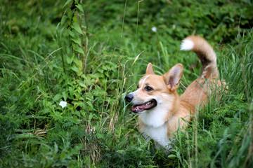 Welsh Corgi Pembroke dog in grass