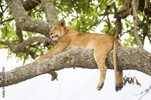 Fotobehang Leeuw African lion rests in tree
