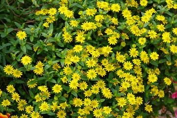 Gelber Blütenteppich