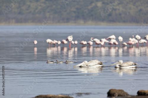 Fotobehang Flamingo Pelicans at Lake Nakuru, Kenya